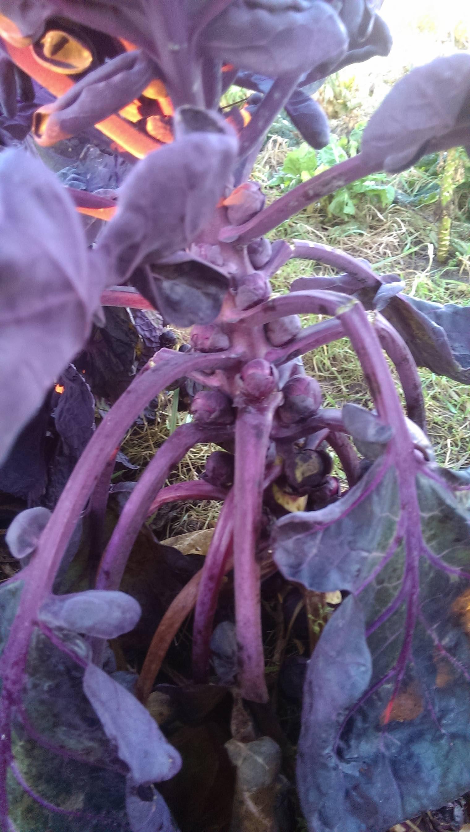 Rød rosenkål på planten